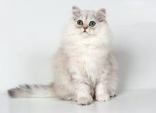 персиянка котенка Стоковое Фото
