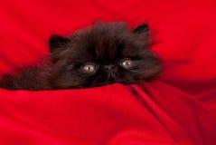 персиянка котенка стоковые изображения rf