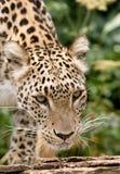 персиянка леопарда Стоковые Фотографии RF