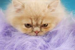 персиянка макроса котенка Стоковая Фотография