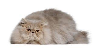 персиянка 11 месяца кота старая Стоковые Фотографии RF