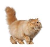 персиянка 7 месяцев кота старая Стоковое фото RF