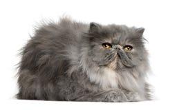 персиянка 8 месяцев кота старая Стоковые Изображения