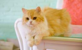 Персидские коты лежа на таблице Стоковая Фотография