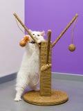 Персидский котенок играя с игрушкой Стоковые Изображения