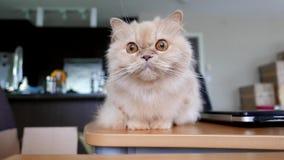 Персидский кот играя ее игрушку акции видеоматериалы