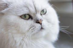 Персидский кот шиншиллы, конец-вверх Стоковая Фотография RF