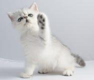 Персидский кот шиншиллы Стоковые Фото