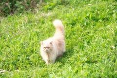 Персидский кот Стоковое Фото