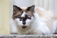 персидский кот Стоковые Фотографии RF