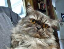 персидский кот Стоковая Фотография RF