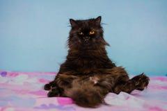 персидский кот Стоковая Фотография