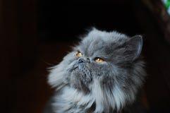персидский кот Стоковое Изображение