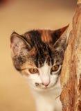 персидский кот Стоковые Изображения