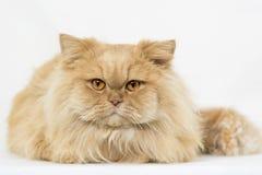 Персидский оранжевый изолированный кот Стоковые Изображения RF