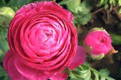 Персидский цветок лютика Стоковая Фотография