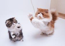 2 персидских кота различной расцветки Стоковые Изображения RF