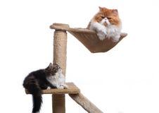 2 персидских кота различной расцветки Стоковое фото RF