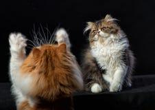 2 персидских кота различной расцветки Стоковая Фотография
