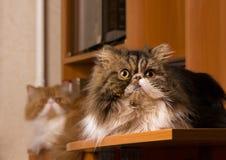 2 персидских кота различной расцветки Стоковое Изображение