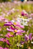 Перская хризантема Стоковая Фотография RF