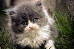 Перский котенок Стоковое фото RF