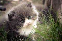 Перский котенок Стоковая Фотография