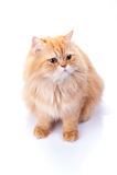 Перский кот на белой предпосылке Стоковые Изображения RF