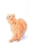 Перский кот на белой предпосылке Стоковая Фотография RF