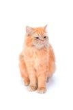 Перский кот на белой предпосылке Стоковые Фотографии RF