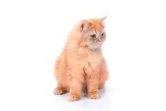 Перский кот на белой предпосылке Стоковая Фотография