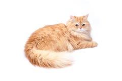 Перский кот на белой предпосылке Стоковые Изображения
