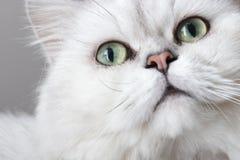 Перский кот шиншиллы Стоковая Фотография