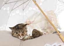 Перский кот, 1 годовалый, лежа Стоковое фото RF