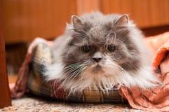 Перский кот Стоковое Изображение RF