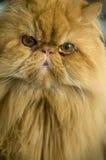 Перский кот Стоковые Изображения