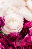Перский лютик Образуйте красочное и бледное - предпосылка розовых цветков лютика светлая Стеклянная ваза на розовое винтажное дер Стоковая Фотография RF