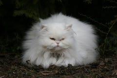 перско Стоковая Фотография RF