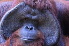 Персона или обезьяна Стоковая Фотография RF