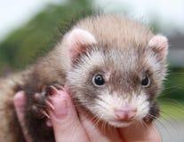 персона ferret Стоковые Фотографии RF