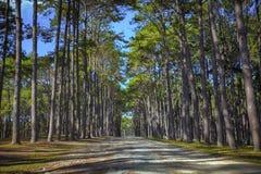 Перспектива древесины сосны в плантации Boh Kaew foresty в chian Стоковые Изображения