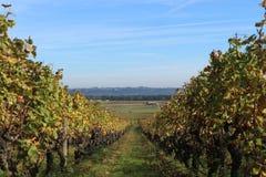 Перспектива Wineyard Стоковое Изображение