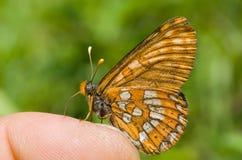 перст 2 бабочек стоковая фотография