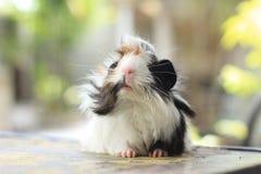 Перуанская морская свинка Стоковая Фотография RF