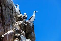 Перуанские gannets на утесах Стоковое фото RF