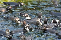 Перуанские punguins Стоковая Фотография RF