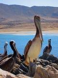 Перуанский пеликан Стоковое фото RF