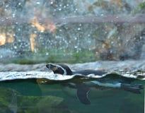 Перуанский пингвин Стоковые Фото