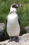 Перуанский пингвин Стоковое Фото