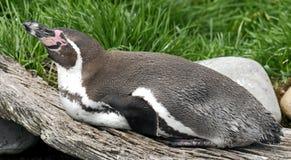 Перуанский пингвин Стоковая Фотография RF